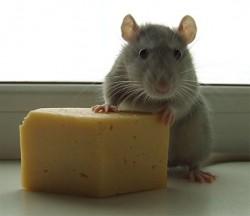 мышонок с сыром