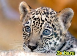 маленький ягуар